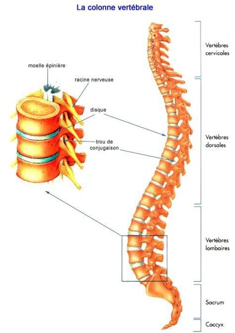 colonne-vertebrale